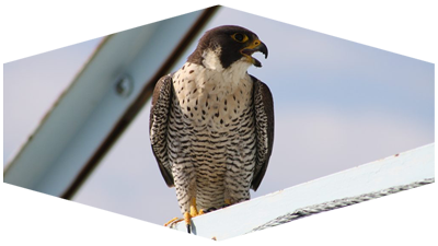 Peregrine Falcon Foundation